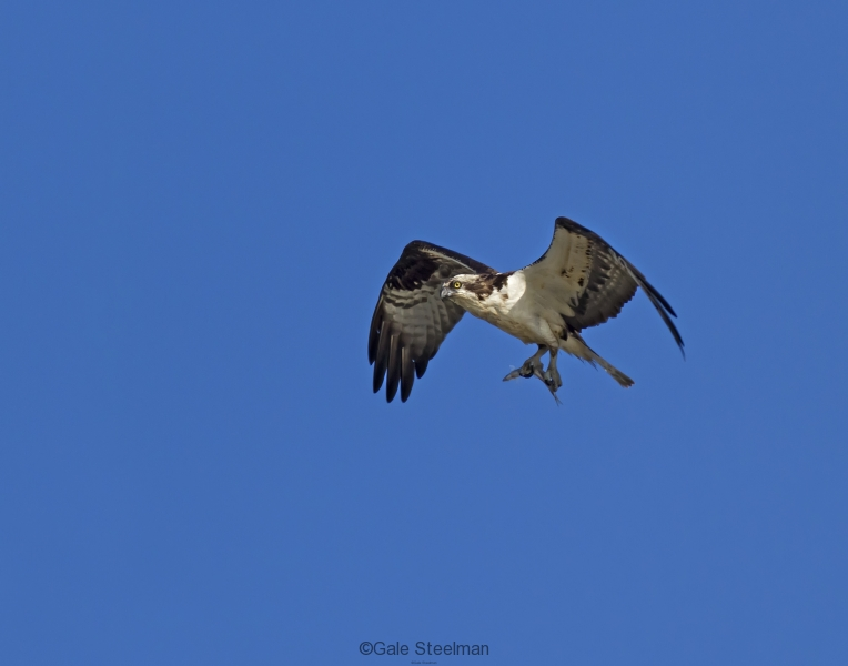 Osprey Carrying Fish_MG_1591