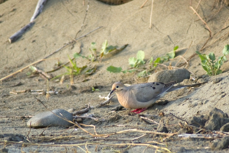 Mourning Dove_MG_7607