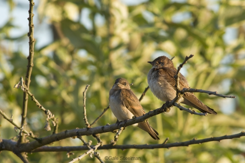 Northern Rough-winged Swallow Fledglings_MG_7687