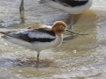 American Avocet_MG_6019