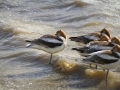 American Avocets_MG_6041