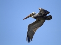 Brown Pelican_MG_3225