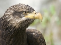 Golden Eagle portrait_MG_6562
