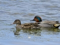 Green-winged Teal Pair_MG_7552