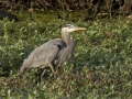 Great Blue Heron IMG_3615