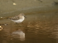 Least Sandpiper_MG_0358