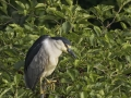 Black-crowned Night Heron_MG_1889