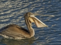 Brown Pelican_MG_6779