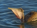 Brown Pelican_MG_7317