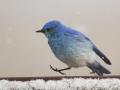 Mountain Blue Bird_MG_2281
