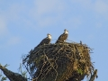 Osprey Chicks_MG_3441