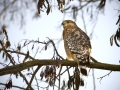 Red Shouldered Hawk IMG_5253