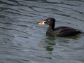 Surf Scoter_MG_4588