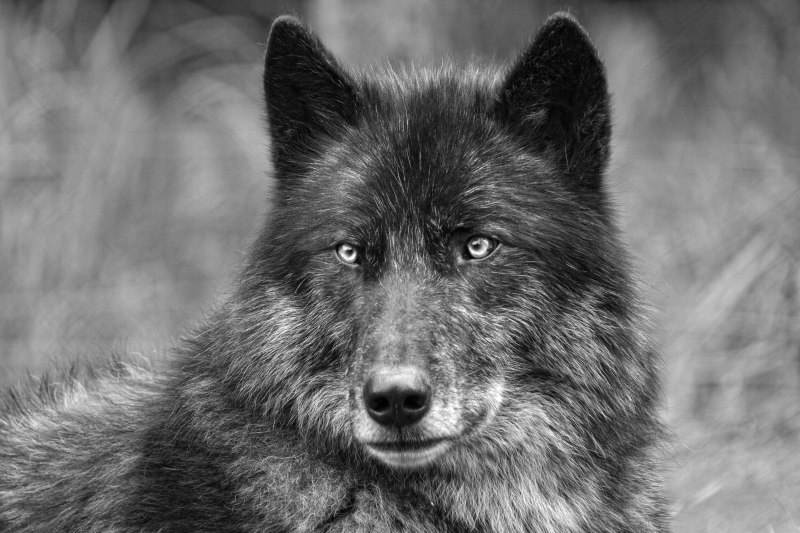 Timber Wolf BW_MG_4615