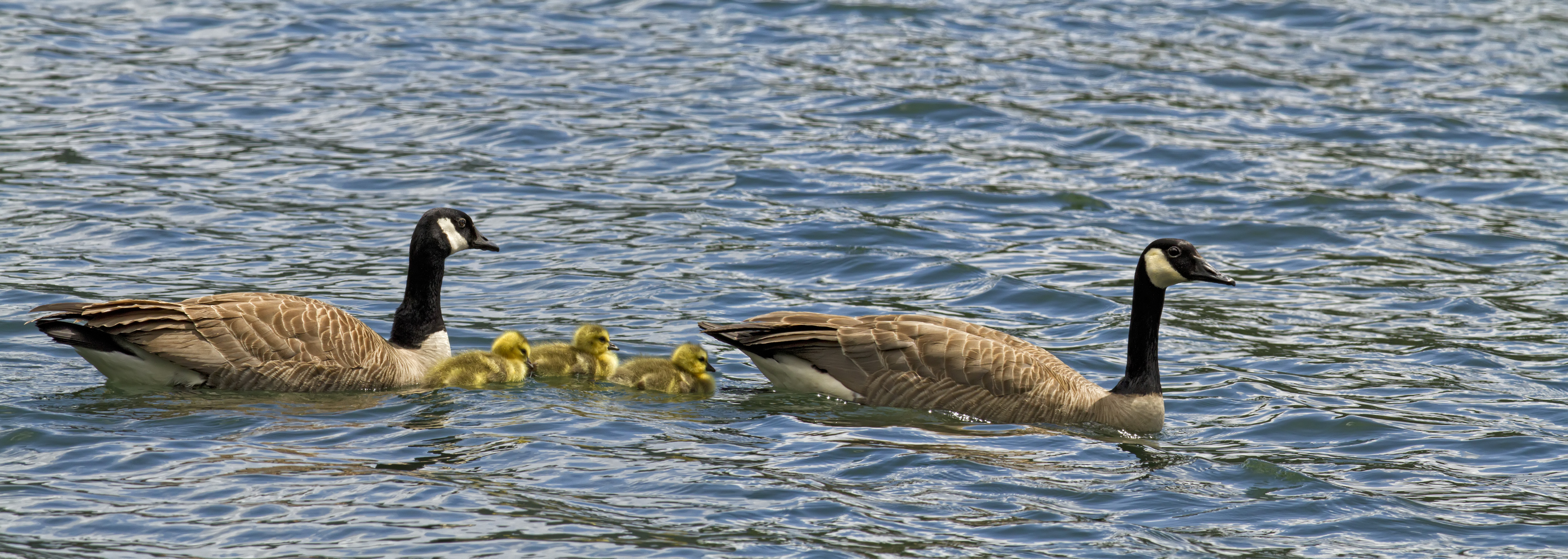 Goose Family_MG_9042 9047