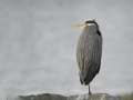Blue Heron _MG_1457