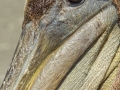 Brown Pelican2_MG_9006