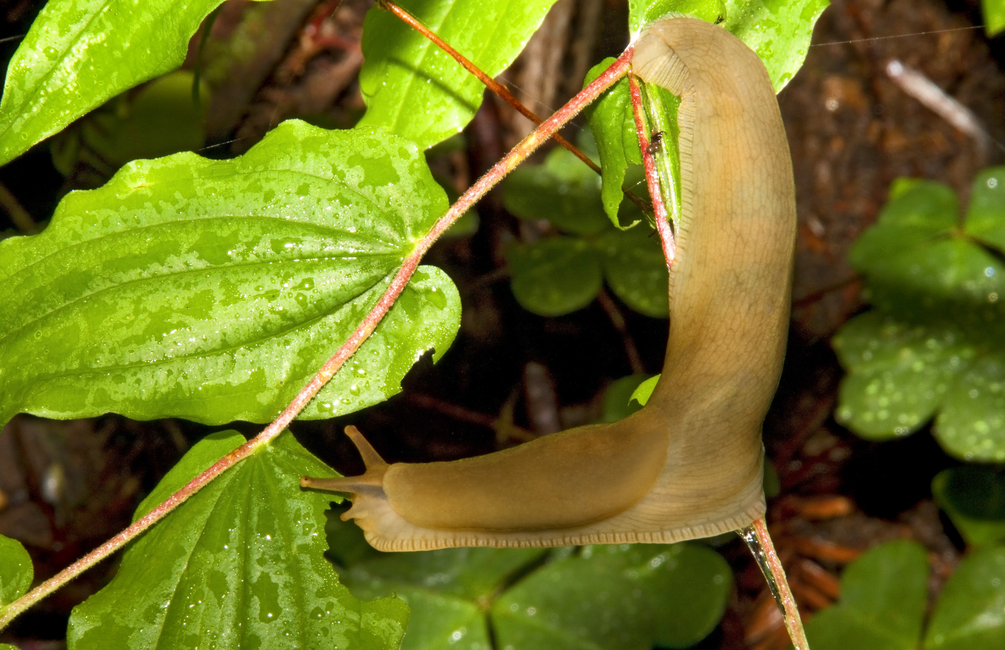 Banana Slug_MG_1721