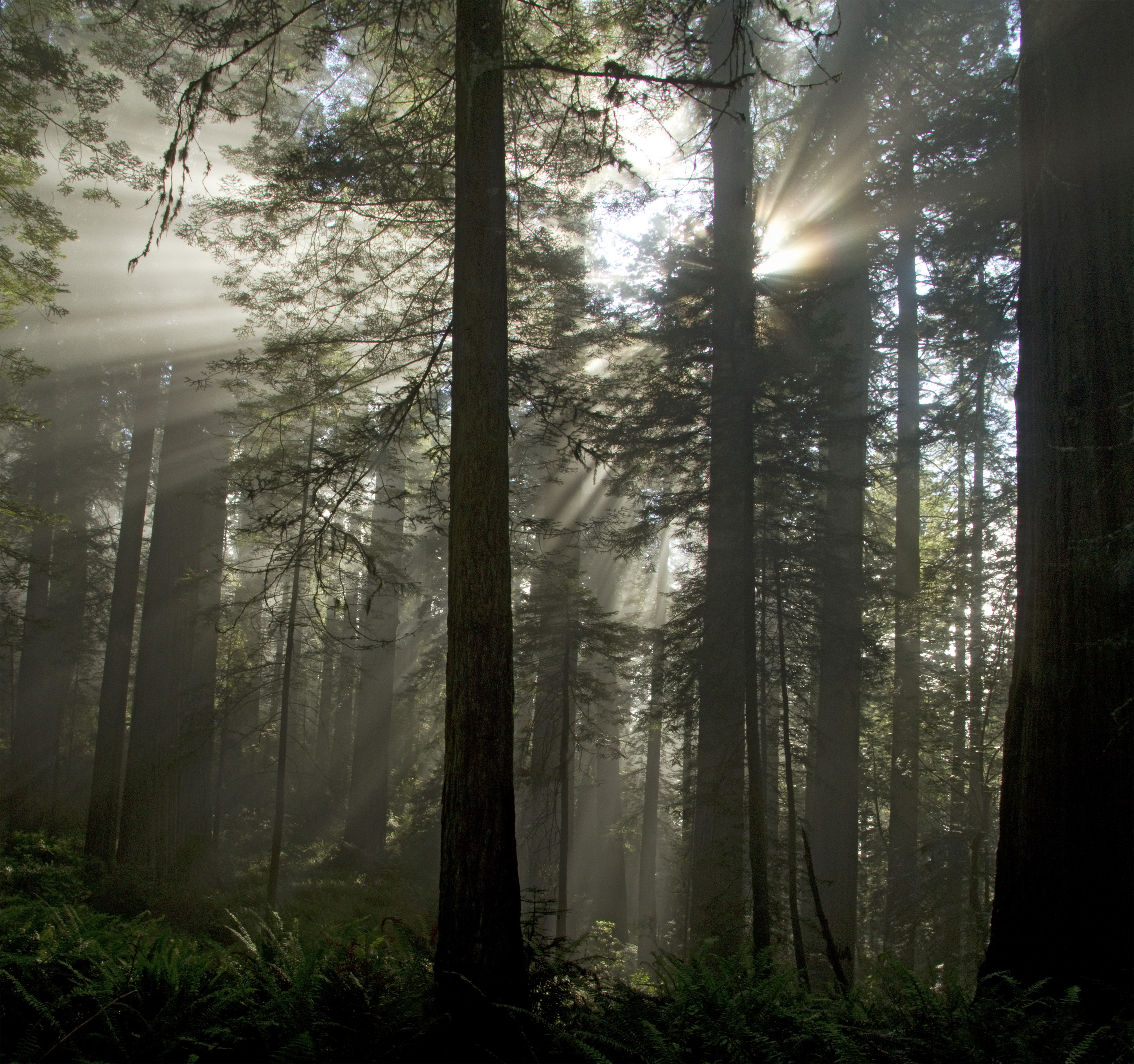 Redwood Sunbeams_MG_2062 64