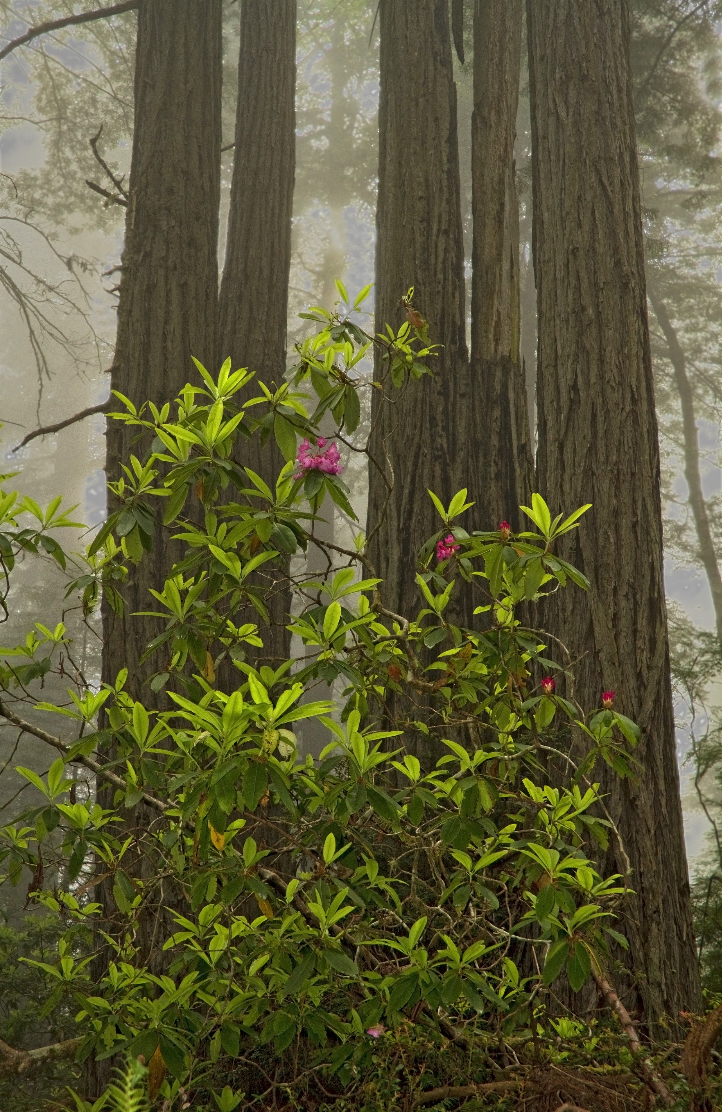 Rhododendron_MG_1986