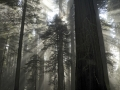 Redwood Sunbeams_MG_2061
