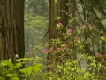 Rhododendron in Redwoods_MG_1989