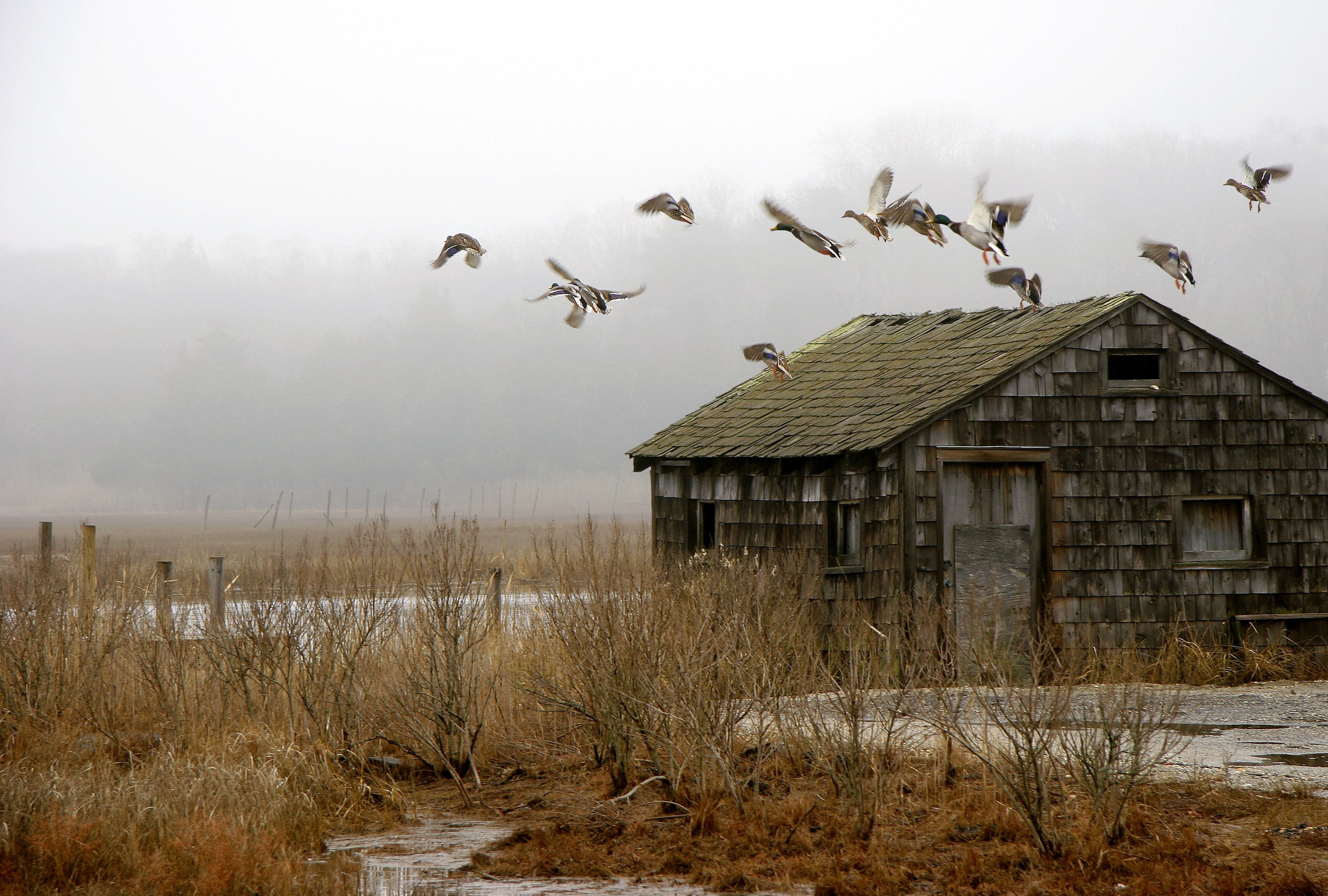 Absecon Duck Shack&Ducks IMG_0706