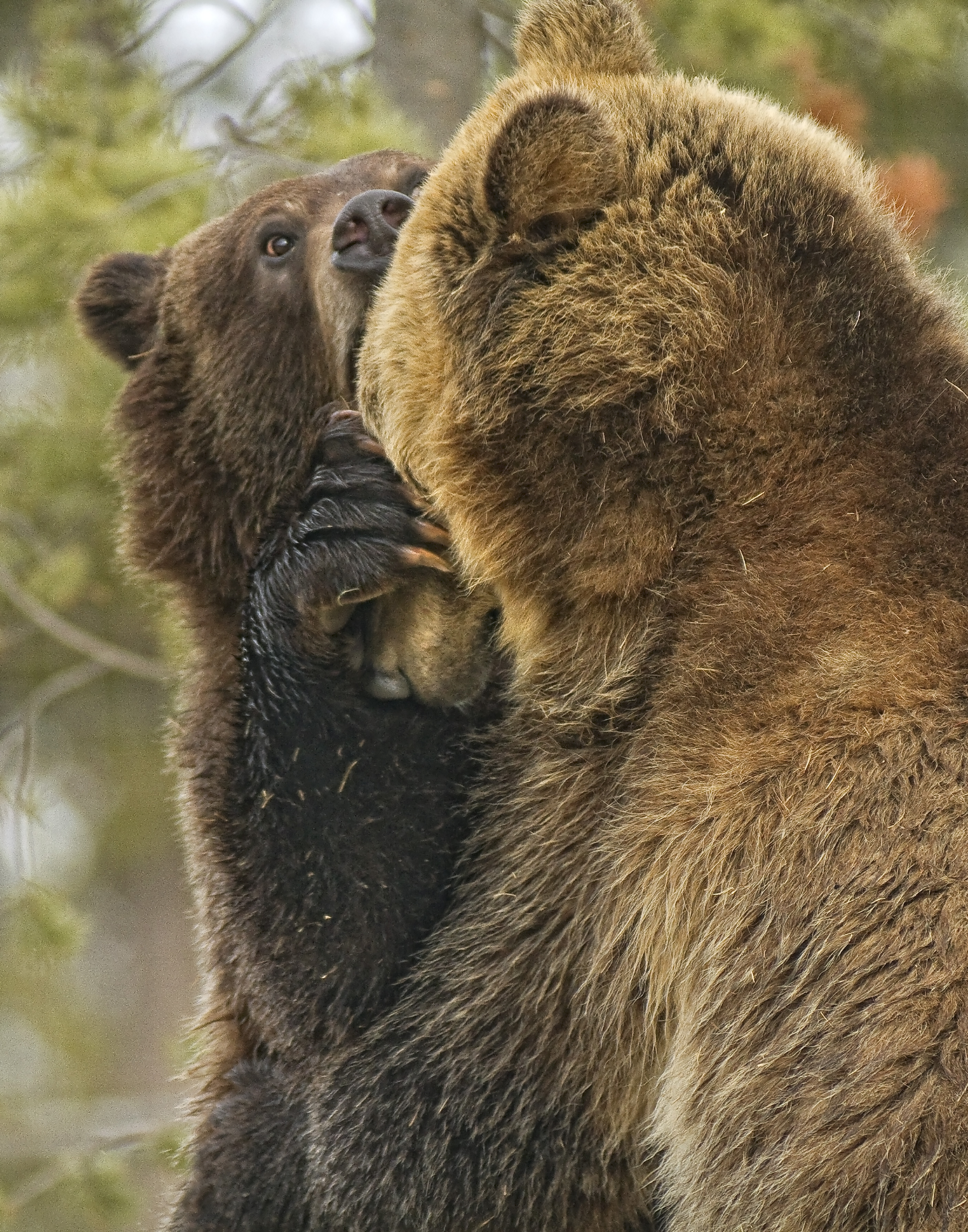 Grizzly Bears Wrestling _MG_7235
