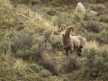 Bighorn Sheep_MG_1186