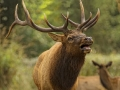 Elk Buck_MG_0886