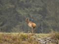 Elk Calf Looking for Mom IMG_12036