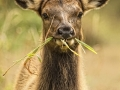 Elk Cow Eating Grass_MG_0834