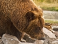 Grizzly Bear_MG_7783