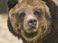 Grizzly Bear Portrait_MG_7983-86