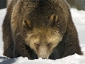 Happy Grizzly Bear IMG_4728