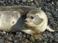 Harbor Seal_MG_5400