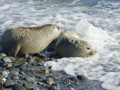 Harbour Seals_MG_5442