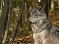 Timber Wolf Sitting and Waiting_MG_5369