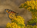 Monarch Butterfly_MG_2819