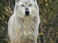 Timber Wolf on the Hill_MG_7544