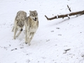 Timber Wolves Running_MG_0296