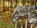 Timber Wolves The Three Stalkers_MG_5631