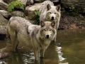 Tundra Wolves in Pond IMG_6862